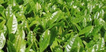 茶木の8割以上が樹齢50年を越える